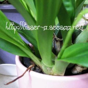 オンシジュームの花芽(花茎) 4本め発見