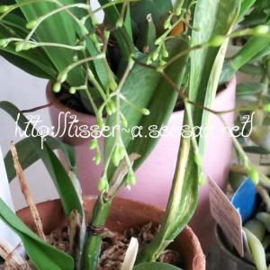 オンシジュームの花茎 7本