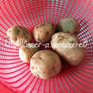ジャガイモ収穫 & レインボーコーンの種まき