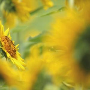 向 日 葵