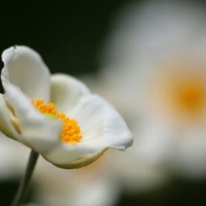 秋 明 菊