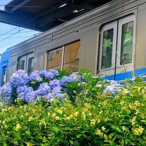 【鉄道スケッチ】青い井の頭線と紫陽花のコラボレーション