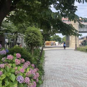 【街角スケッチ】隅田公園の紫陽花と東武特急「りょうもう」号