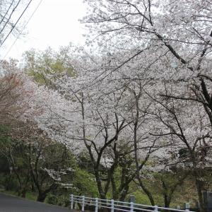 徳島市西部公園の桜