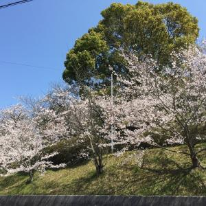 藤山健康文化公園の桜 in 今治市大西町 + 菊間体育館周辺の桜