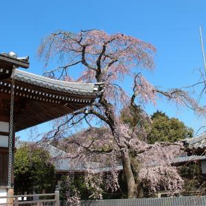 無量寺のしだれ桜 in 今治市朝倉上