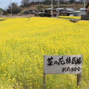 菜の花畑 in 今治市大西町