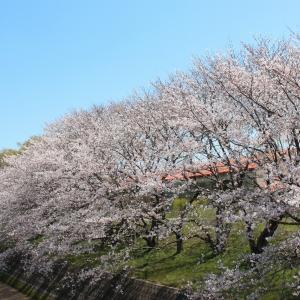 頓田川河川敷の桜 in 今治市