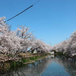 ひょうたん池の桜 in 西条市石田