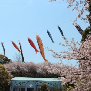 今治市民の森の桜と鯉のぼり