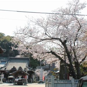 遍照院とかわら館の桜 in 今治市菊間町