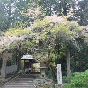 新長谷寺の桜 in 四国中央市土居町