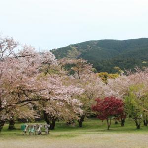 すすきが原公園の桜 in 四国中央市土居町