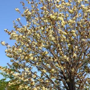 淡い緑色の桜。