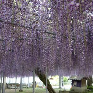 九州の休日 中山の大藤