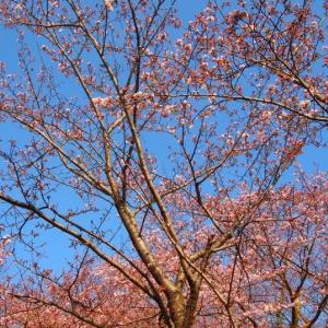 円通寺公園の桜 2016年4月