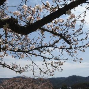 備中国分寺の桜 (2016年4月)