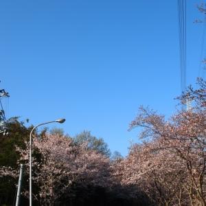神道山の桜 (2016/4/2)
