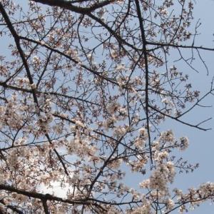 早島公園の桜開花状況(2016/3/27)