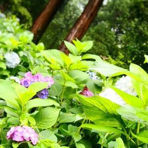 吉備津神社の紫陽花が見頃(2016年6月19日)