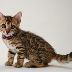 7/18生まれのベンガル子猫 オーナー様募集します