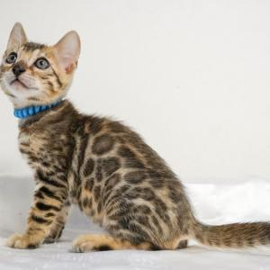 ベンガル子猫生まれています、オーナー様募集中!