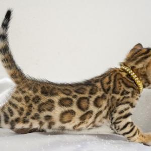 10月11月生まれのベンガル子猫です!