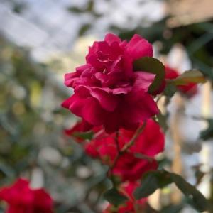 フルーツティーと移り行く薔薇の季節。。。