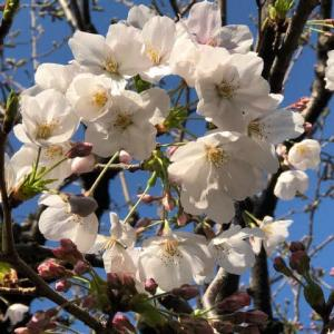 桜とアトウラ 2019