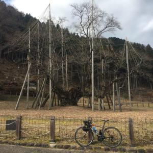 薄墨桜 -2019-12-14