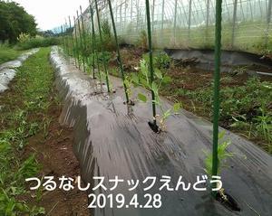 スナックエンドウとインゲン追加定植