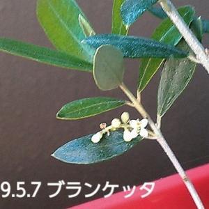 オリーブの開花!祝い!笑