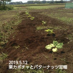 栗カボチャとバターナッツ定植