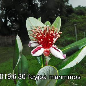 フェイジョアの花、咲き続ける