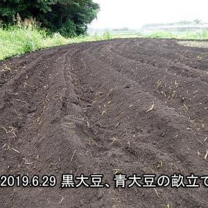 黒豆(黒大豆)、青豆(青大豆)植え込み