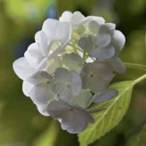アジサイの咲く道 4