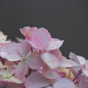 紫陽花を眺めて過ごす