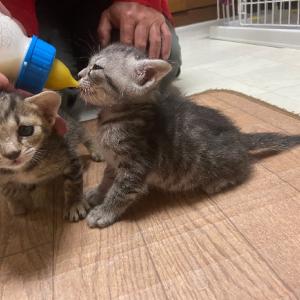 ミルク猫のサムとハニー 体重測定です