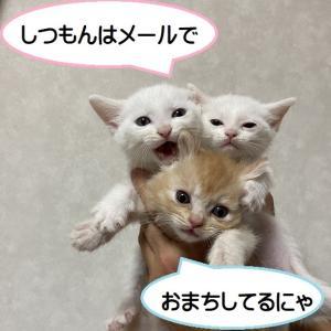 キジママ子猫アメショーとサビ トライアル開始