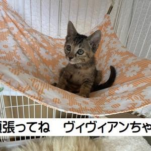 キジママ子猫のサビ女子+カラフル子猫4匹トライアル開始