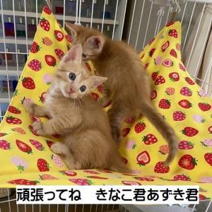 4/22生 三毛ママ子猫3匹トライアル開始
