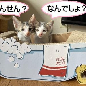 6/1生ブルーアイ子猫がやってきた。
