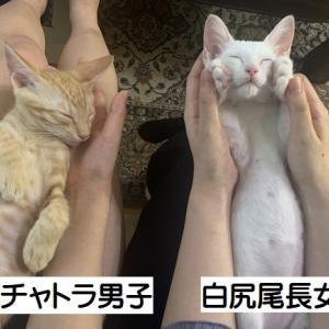 おめでとう ビビちゃん&こた君(5/2生白尻長女子 5/9生茶トラ男子)