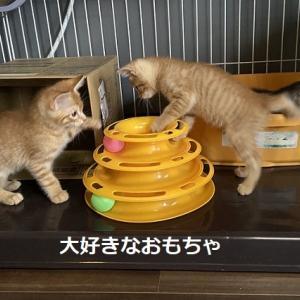 茶トラママ子猫トライアル開始