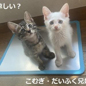 76g~4匹子猫成長中+白猫男の子里親サイトデビュー