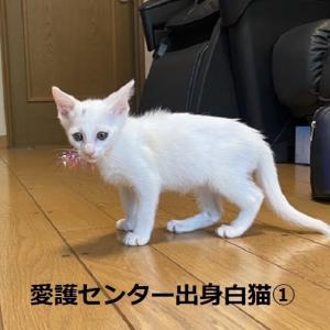 愛護センター白猫のお見合い