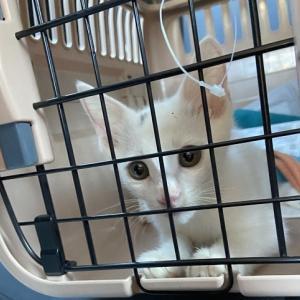 愛護センター白猫男子 トライアル開始