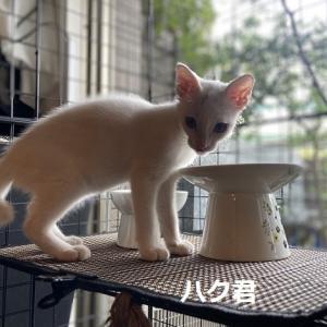おめでとうハク君(白猫男子②)
