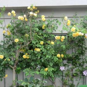 薔薇がきれい。 「千羽鶴/長浜」いい歌です。