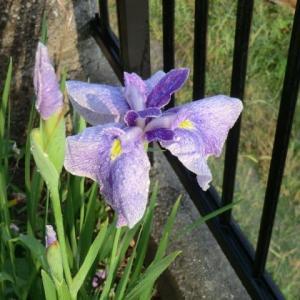 花菖蒲が咲いた、 「春から夏へと/山川豊」がいいです。